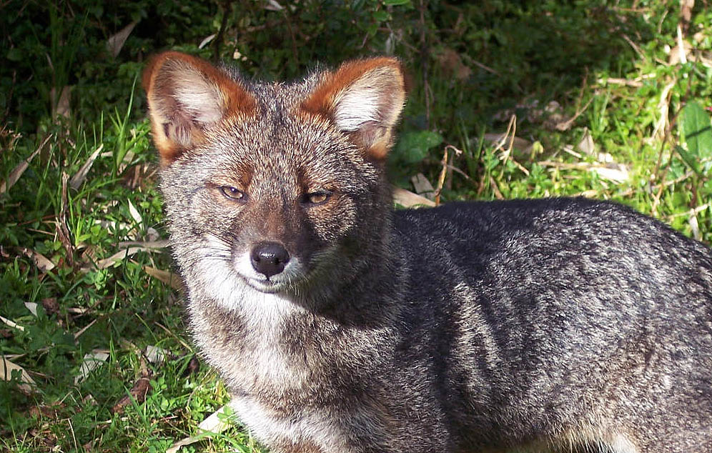 A male Darwin's fox in Ahuenco, Chiloé Island, Chile